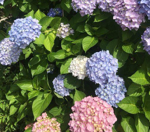 会社近くの紫陽花